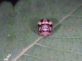 復旦-新天母公園的昆蟲107/1:DSC09800六條瓢蟲蛹.JPG