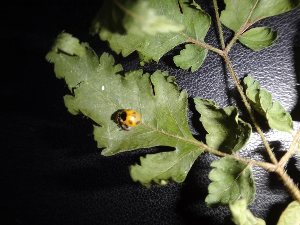 龜紋瓢蟲一齡幼蟲剛孵化~蛹~羽化:DSC06193二隻龜紋瓢蟲羽化.JPG