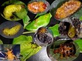朴樹葉苞搖籃內活一生的黑點捲葉象鼻蟲幼蟲~成蟲:黑點捲葉象鼻蟲成長.jpg