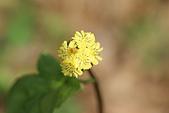 菊科植物:黃鵪菜