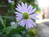 菊科植物:P2110368