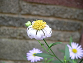 菊科植物:P2110351