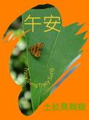 昆蟲問安卡-午安:午安!土紋桑舞蛾.jpg
