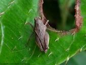 雙溪-老農夫生態農莊及虎豹潭的昆蟲:DSC03998短翼菱蝗.jpg