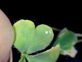 藍灰蝶(沖繩小灰蝶)的一生:DSC07394.JPG