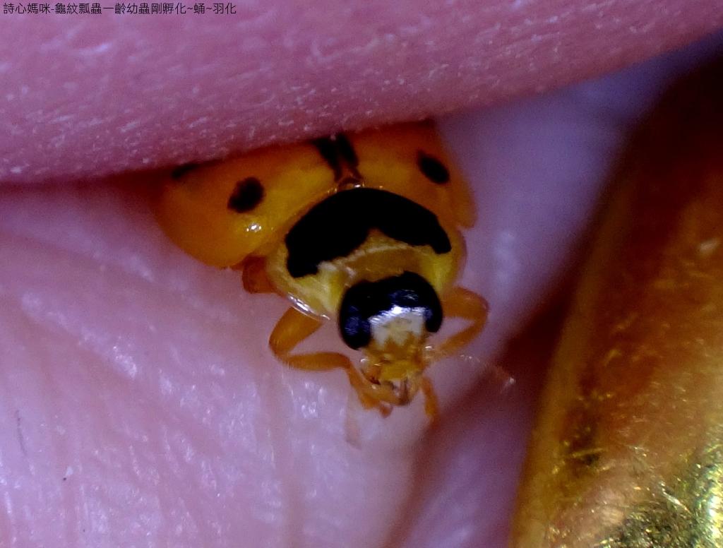 龜紋瓢蟲一齡幼蟲剛孵化~蛹~羽化:DSC06210雄蟲.JPG