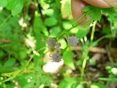 菊科植物:P2160264