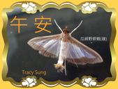 昆蟲問安卡-午安:午安!瓜絹野螟蛾 (瓜螟)雄.jpg
