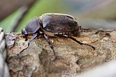 鞘翅目 金龜子:DSC00206