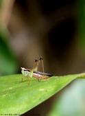 雙溪-老農夫生態農莊及虎豹潭的昆蟲:074A4110黑翅細蟴(雌).JPG