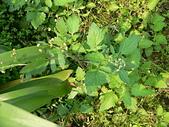 菊科植物:茯苓菜 (魚眼草)
