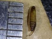 細蛾幼蟲捲葉~蛹~羽化 (三條白斑紋):DSC06552.JPG
