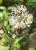 菊科植物:貓腥草褐色瘦果冠毛