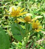 菊科植物:雙花蟛蜞菊三朵花