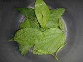 龜紋瓢蟲一齡幼蟲剛孵化~蛹~羽化:DSC04697山黃梔蚜蟲.JPG