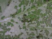 斜紋夜蛾卵~幼蟲~蛹~成蛾羽化:DSC06404黑頭綠身黑點蛾寶寶.JPG