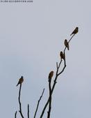 復旦社區稀有冬侯鳥-金翅雀:N74A4461.JPG