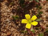 109年,復旦社區新的花草樹木:DSC03121黃花.JPG