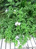 草本類植物:藍雪花