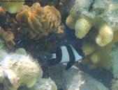 馬爾地夫-印度洋的淺海生物:P7120388a.jpg