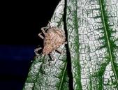 大雪山昆蟲與蜘蛛:DSC07826椿象早齡若蟲.jpg