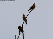 復旦社區稀有冬侯鳥-金翅雀:N74A4462a.jpg