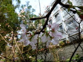 復旦三月花朵:DSC02730富士櫻花萼.JPG