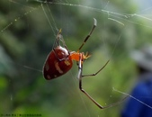 雙溪丁蘭谷生態園區的蜘蛛:DSC03879赤腹寄居姬蛛(雌).jpg