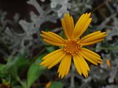 菊科植物:DSC00648.JPG