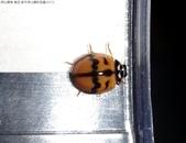 復旦-新天母公園的昆蟲107/1:DSC00084六條瓢蟲(雄)斑紋變異.JPG