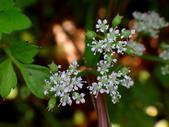 復旦三月花朵:DSC03066五瓣花朵.JPG