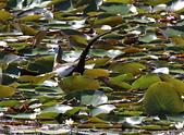 凌波仙子(菱角鳥)雛鳥&成鳥:IMG_6571成鳥.jpg