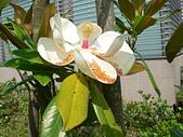 驚豔的花朵(白色系):洋玉蘭白花朵