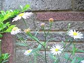 菊科植物:P2110350
