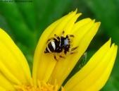 雙溪丁蘭谷生態園區的蜘蛛:DSC03906毛垛兜跳蛛,若蛛各步足透明.jpg
