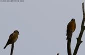 復旦社區稀有冬侯鳥-金翅雀:N74A4469a.jpg