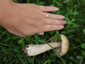公園草坪比手掌大的二種傘菇 105.9.18~19:DSC02105.JPG