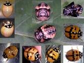 復旦-新天母公園的昆蟲107/1:六條瓢蟲(雄)羽化鞘翅斑紋變化.jpg