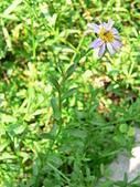 菊科植物:P2140626