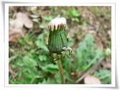 菊科植物:西洋蒲公英蓄勢待發的瘦果冠毛