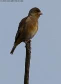 復旦社區稀有冬侯鳥-金翅雀:074A9112a.jpg
