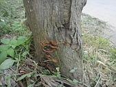 野生菇蕈天地 101~102年:木層孔菌屬  102.5.3