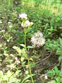 菊科植物:貓腥草花與瘦果冠毛