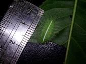 黑點扁刺蛾四齡幼蟲~圓褐繭~羽化:DSC09780身長1.5公分.JPG