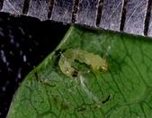 細蛾幼蟲捲葉~蛹~羽化 (三條白斑紋):DSC05934捲葉細蛾幼蟲身長3mm.jpg