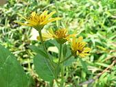 菊科植物:P2150984.JPG