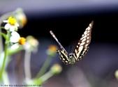 雙溪-老農夫生態農莊及虎豹潭的昆蟲:074A4000青斑鳳蝶飛翔.jpg