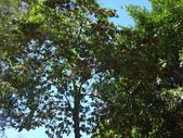 文化公園(原復旦公園)賞櫻花與小紅果:DSC01771鳥餌植物.JPG