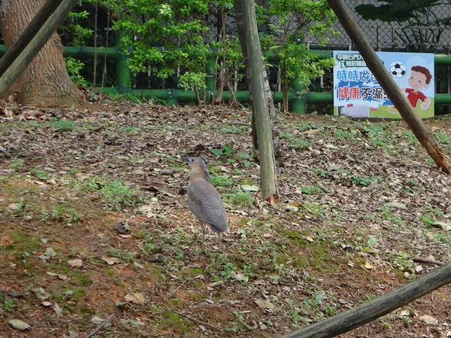 新天母公園的新住民-黑冠麻鷺成鳥與幼鳥:135.JPG