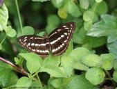 雙溪-老農夫生態農莊及虎豹潭的昆蟲:074A4035小單帶蛺蝶,雌.JPG